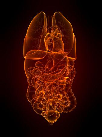 transparent human organs Stock Photo - 5960340