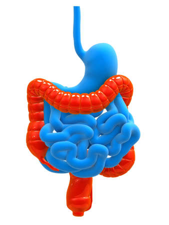 colon: human digestive system with highlighted colon