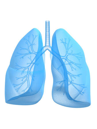 respire: anatomy of human lung and bronchi
