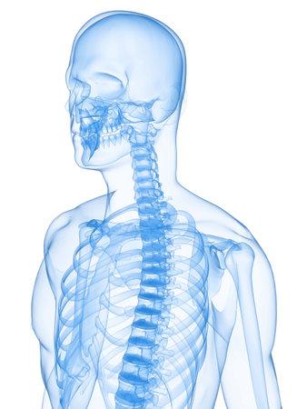 human skeleton Stock Photo - 5960356