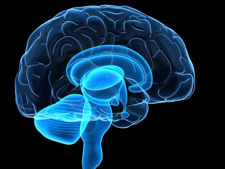 sulcus: transparent human brain Stock Photo