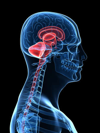 commissure: transparent human body with brain parts Stock Photo
