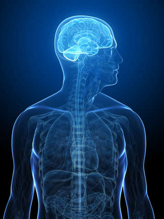 transparent human body with highlighted brain Stock Photo - 5960430