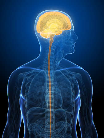transparent human body with highlighted brain Stock Photo - 5960422