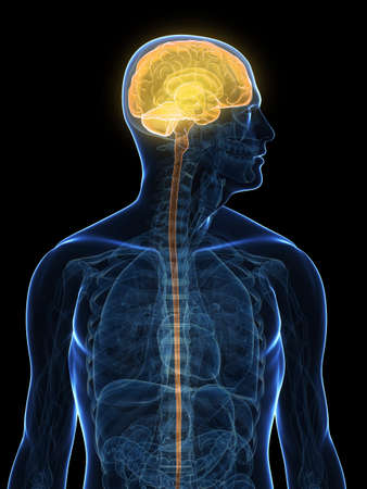 commissure: transparent human body with highlighted brain