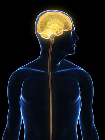transparent human body with highlighted brain Stock Photo - 5960425