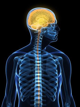 neurona: cuerpo humano transparente con cerebro resaltado