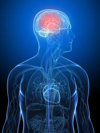 transparent human body with highlighted brain Stock Photo - 5960420