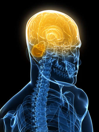 human brain parts Stock Photo - 6003189
