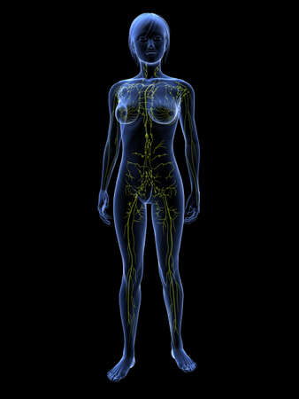 transparent system: transparent female body with lymphatic system Stock Photo