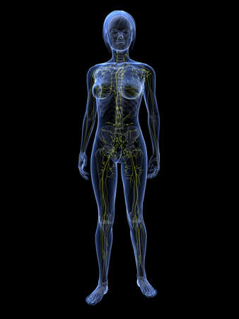 transparent female body with lymphatic system photo