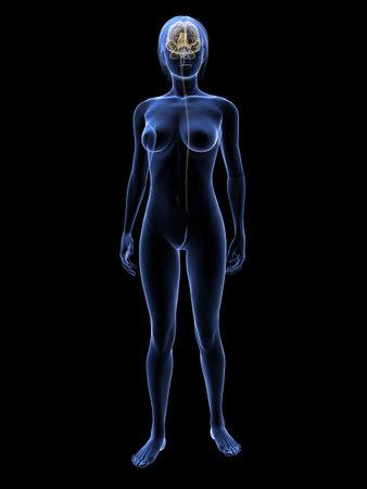 brachial: transparent woman with brain