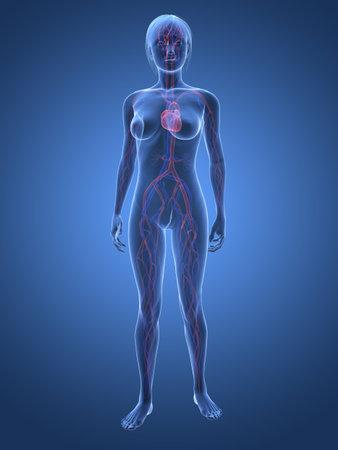 circolazione: corpo femminile trasparente con sistema vascolare  Archivio Fotografico