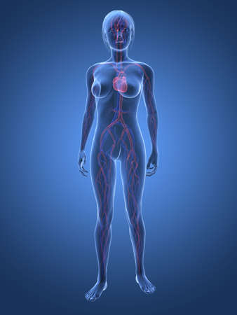 circulation: transparent female body with vascular system