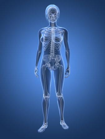 backbone: transparent female body with skeleton