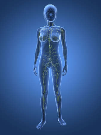 lymphatic: transparent woman - lymphatic system  Stock Photo