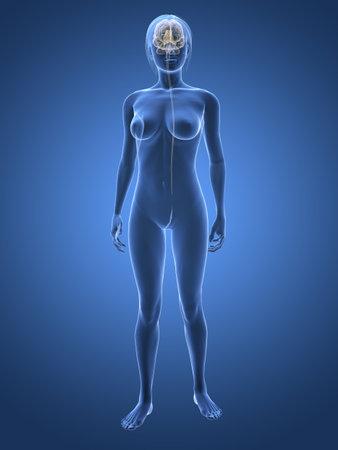 sistema nervioso central: mujer transparente con cerebro Foto de archivo