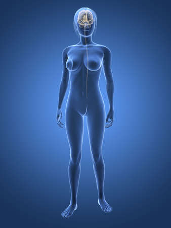 sacral: transparent woman with brain
