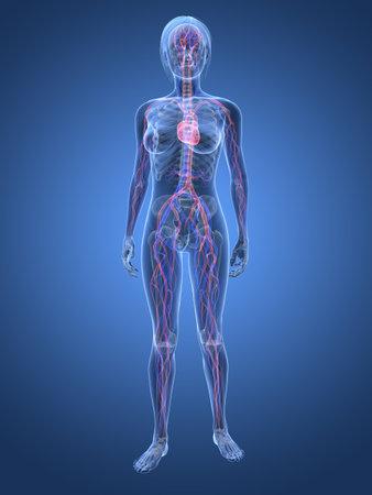 circolazione: donna trasparente - sistema vascolare  Archivio Fotografico