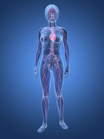 highlighted: transparent woman - vascular system  Stock Photo