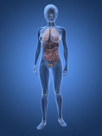 intestines: Anatom�a femenina transparente  Foto de archivo