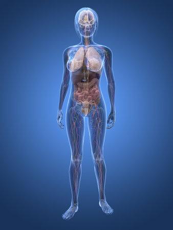 transparent female anatomy Stock Photo - 6359775