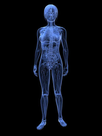 transparent female anatomy  photo