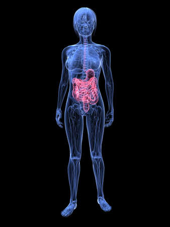 female highlighted digestive system Stock Photo - 6359879