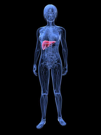 female highlighted liver Stock Photo - 6359878