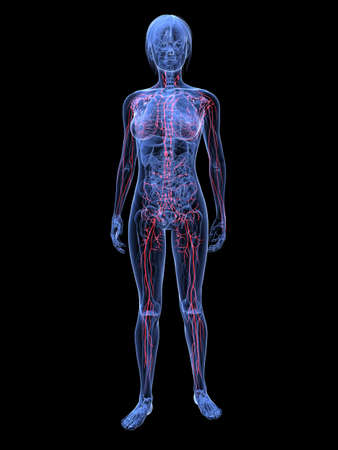 female highlighted lymphatic system  photo