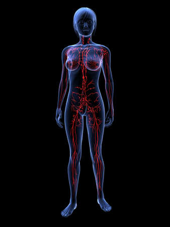 lymph vessels: female highlighted lymphatic system