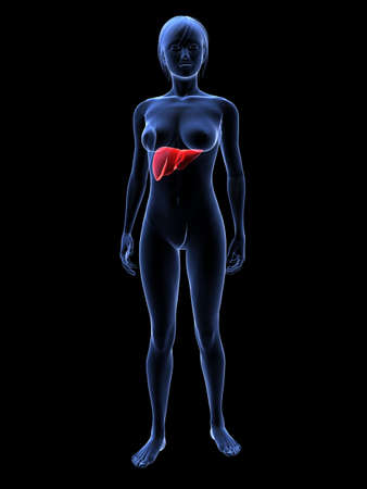 female highlighted liver Stock Photo - 6359762