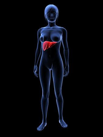 highlighted: female highlighted liver