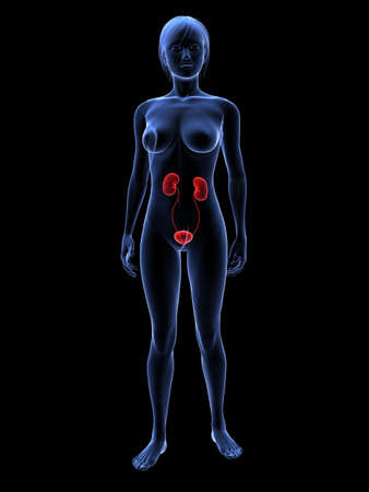 female highlighted urinary system  photo