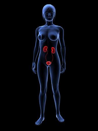 uretra: sistema urinario femenino de resaltado  Foto de archivo