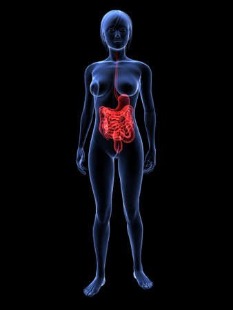 female highlighted digestive system