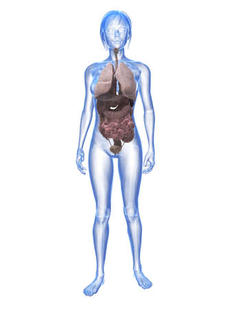 transparent female anatomy Stock Photo - 6359783