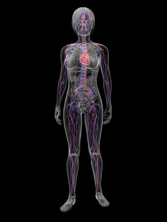 transparent male anatomy: transparent woman - vascular system  Stock Photo