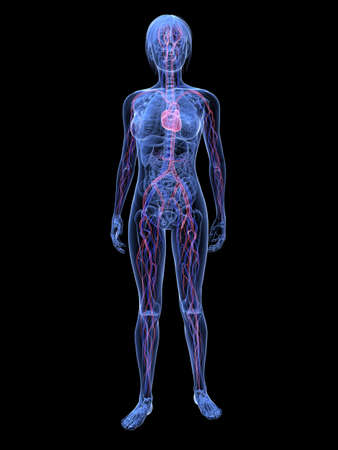 battement du coeur: femme transparente - syst�me vasculaire  Banque d'images