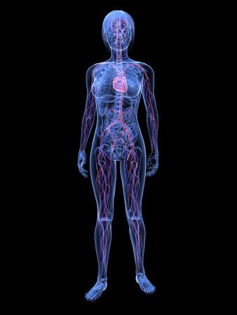 highlighted: mujer transparente - sistema vascular