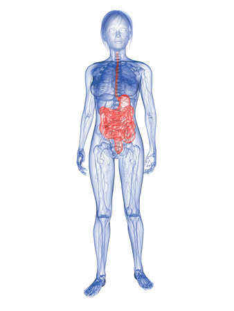 transparent woman - highlighted digestive system Stock Photo - 6359900