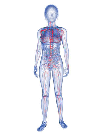 transparent woman - lymphatic system  photo