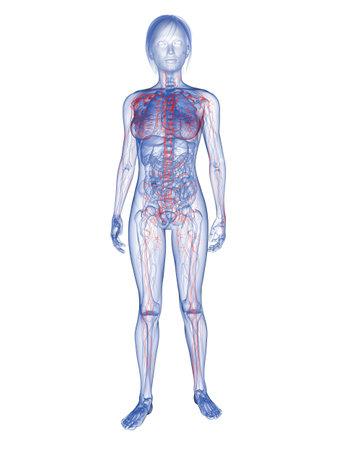 lymph: transparent woman - lymphatic system  Stock Photo