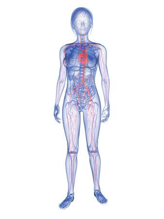 highlighted: mujer transparente - resaltado sistema vascular