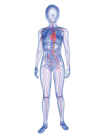 skeletal: transparent woman - highlighted vascular system  Stock Photo