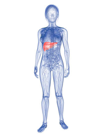 transparent woman - highlighted liver Stock Photo - 6359866