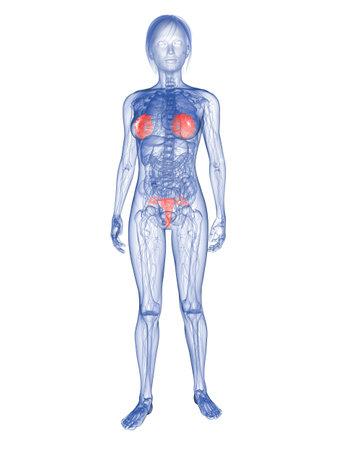 highlighted: mujer transparente - resaltadas de las gl�ndulas mamarias y �tero