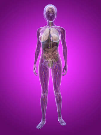 transparent female anatomy photo