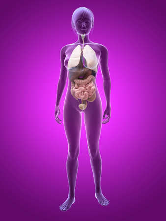 transparent female body with organs