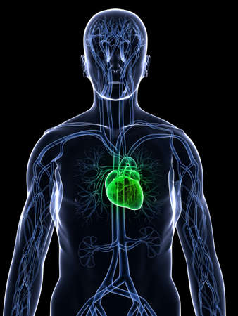 transparent male anatomy: x-ray body - healthy heart Stock Photo